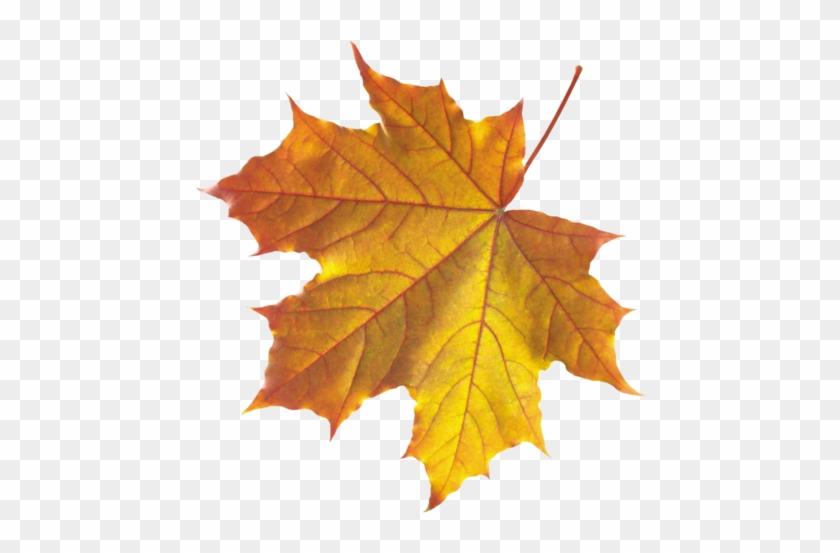 Feuilles D Automne Serie Realistic Leaf Clip Art Free Transparent Png Clipart Images Download