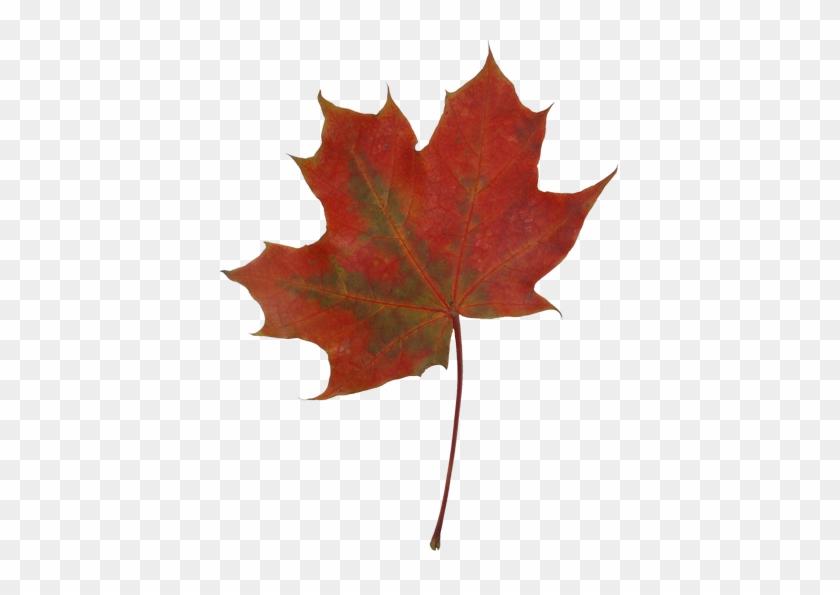 Autumn Maple Leaves - Maple Leaf #1194083