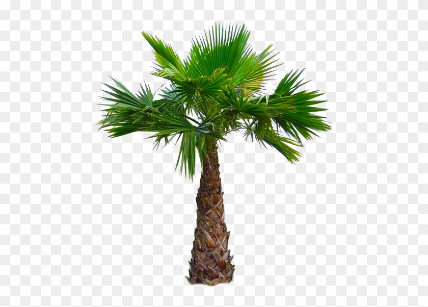 West Indian-american Cuisine - Mexican Fan Palm Tree Png #1194588