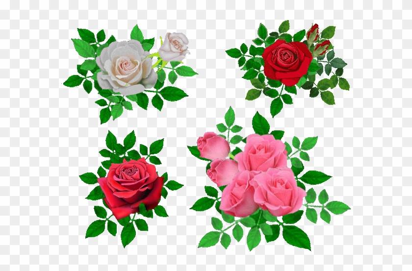 Garden Roses Cabbage Rose Beach Rose Flower Petal - Beach Rose #1196216