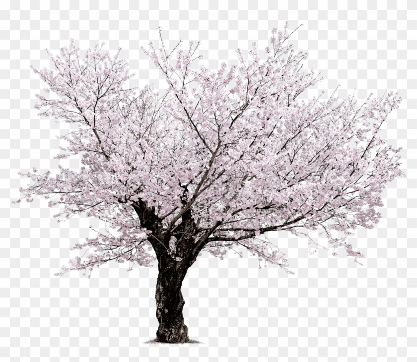 Cherry Blossom Tree Black And White: Sakura Blossom Tree Background