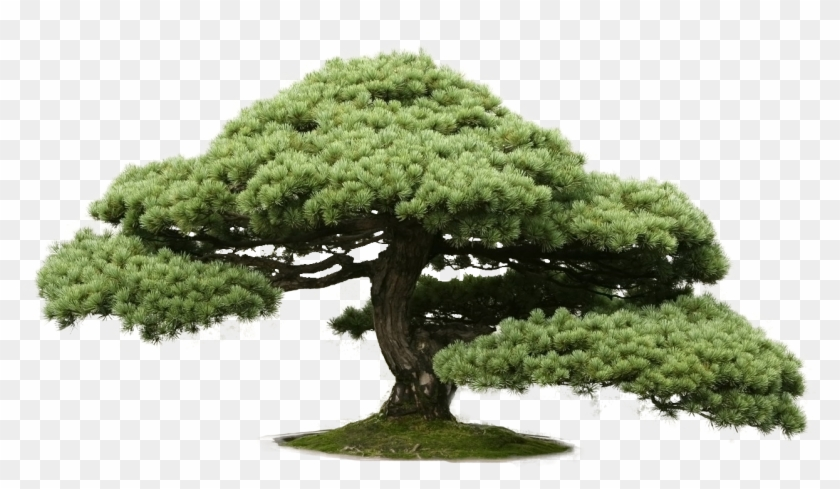 Indoor Bonsai Chinese Elm Tree Cedar Bonsai Free Transparent Png