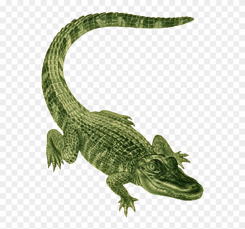 Alligator Clip Art - Alligator Green #1222525