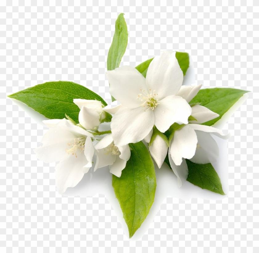 Jasmine Flowers Free Transparent Png Clipart Images Download