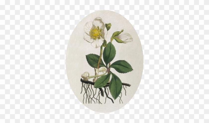Christmas Rose Helleborus Niger L Free Transparent Png Clipart Images Download
