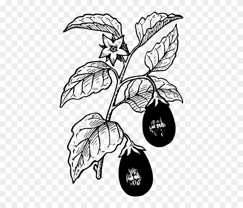 Berries, Food, Drawing, Tree, Egg, Plant, Leaves, Art - Eggplant Plant Black And White #1230035