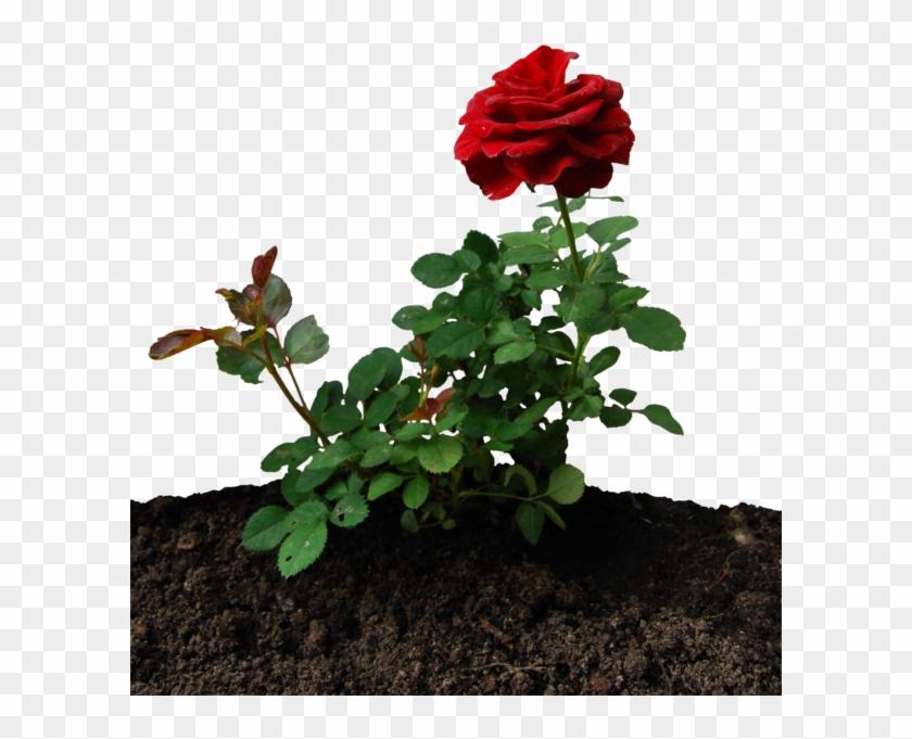 Little Rose By Eirian-stock - Little Rose Plant #1230511