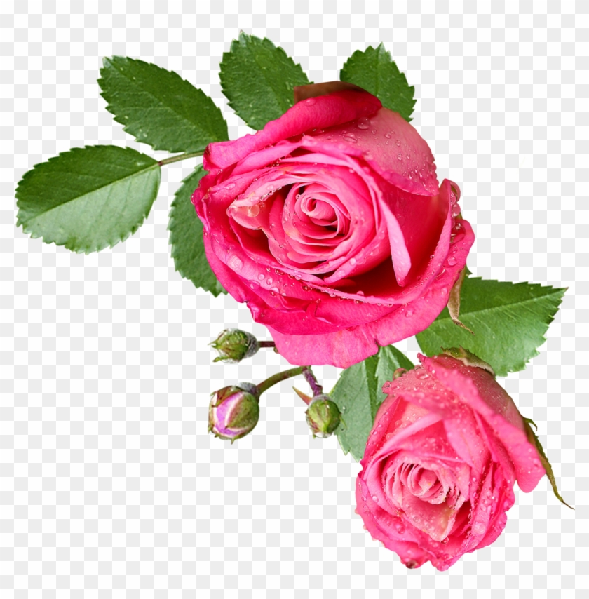 Pink Rose With Leaf Flores Sin Fondo Png Free Transparent Png