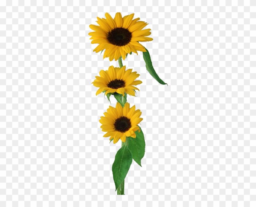 Aycicegi Png Gorselleri Sunflower Png Images Girassol Png Free