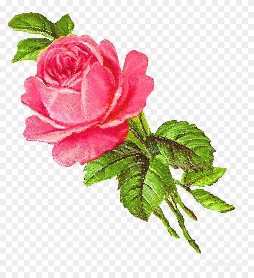 Pink Rose Single Wallpaper Hd Digital Flower Hd Png Free