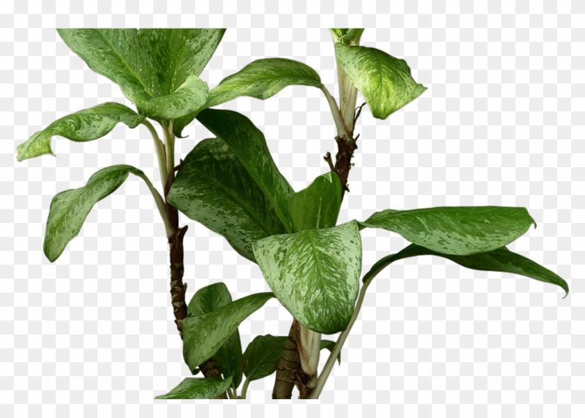 Devil S Ivy Houseplant Beautiful Transparent Plants Harry Potter