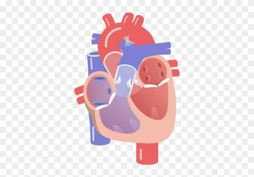 Heart Valve Movement Rh Getbodysmart Com Heart Chambers - Cardiac Conduction System Unlabeled #1296992