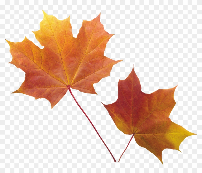 Autumn Png Leaf - Fall Leaves Transparent Background #28077