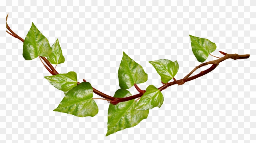 Green Branch Cliparts - Vine With Transparent Background #28998