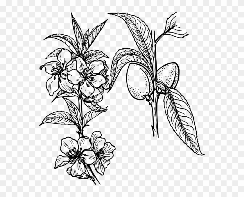 Almond Plant Clip Art - Plants And Flowers Drawing #29389