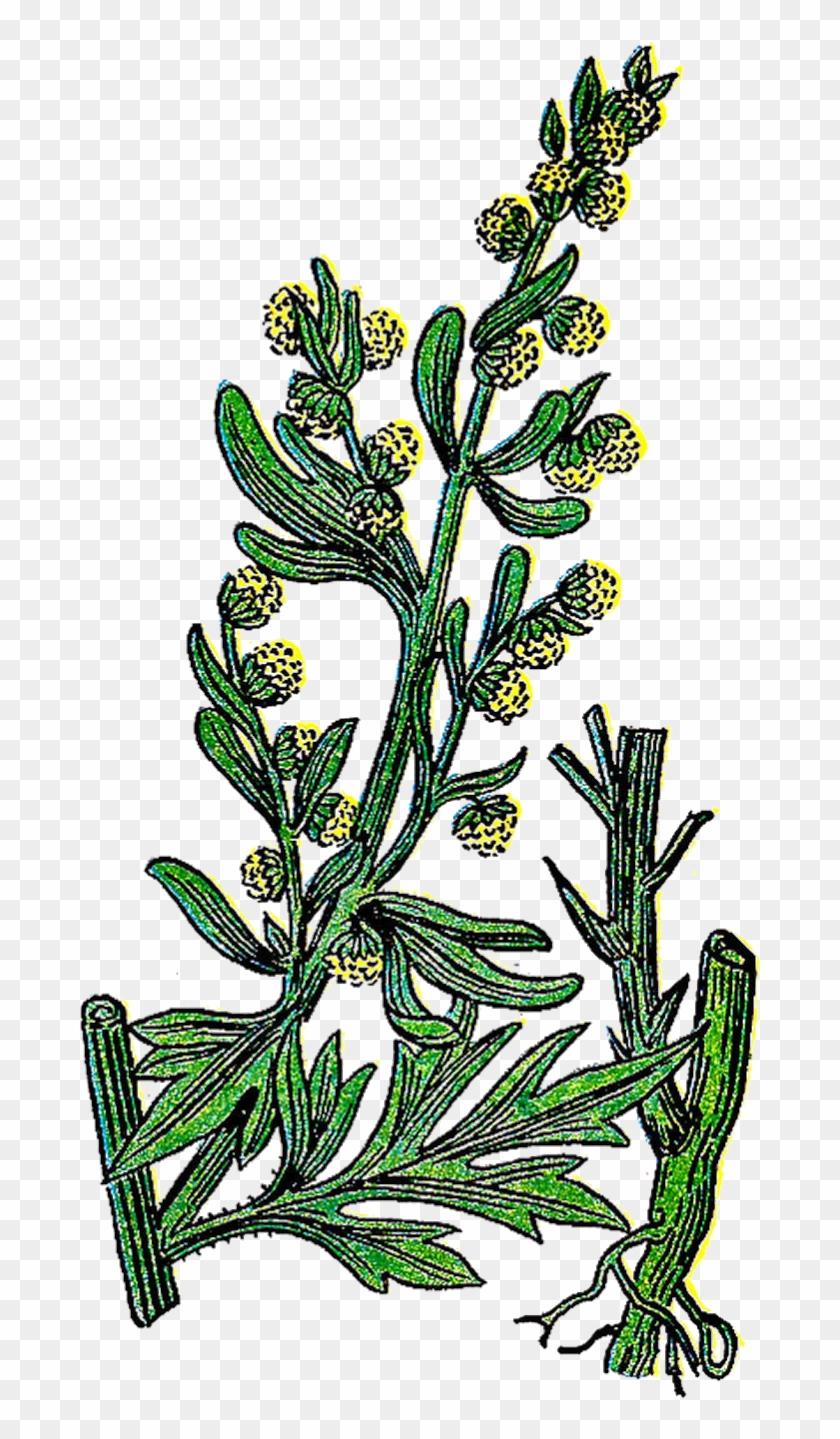 Vintage Flower Clipart Botanical - Wormwood Clipart #29475