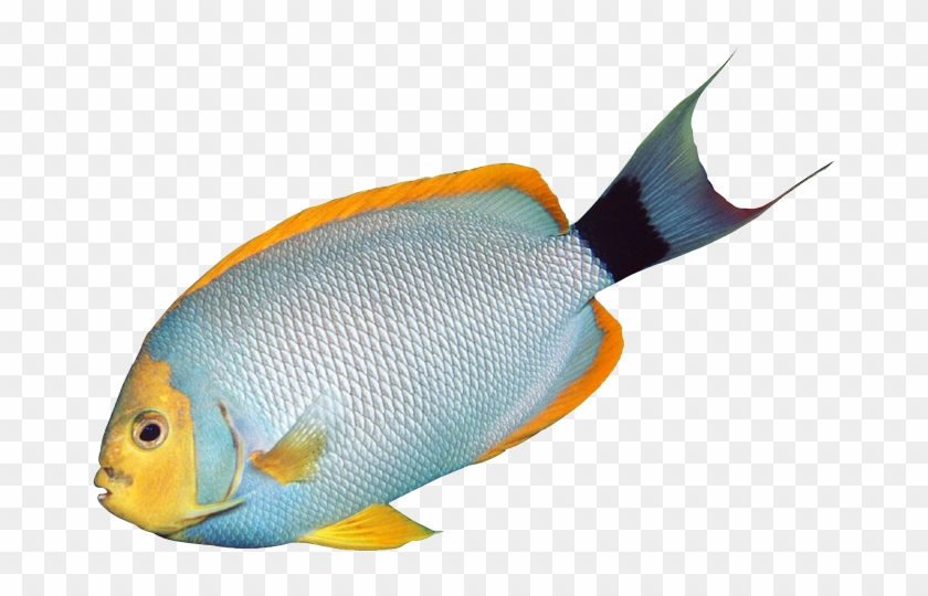 Angelfish Tropical Fish Bass Clip Art - Fish On Transparent Background #30582