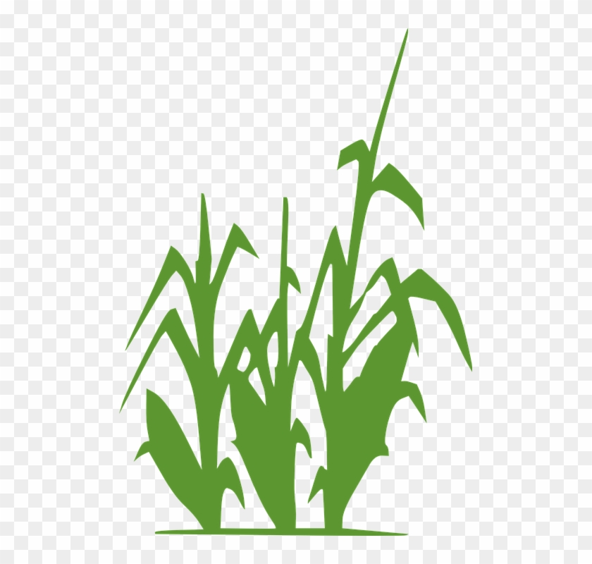 Corn Plant Green Wheat Agriculture Crop Field - Lacto-fermentation Of Human Excreta For Agricultural #32716