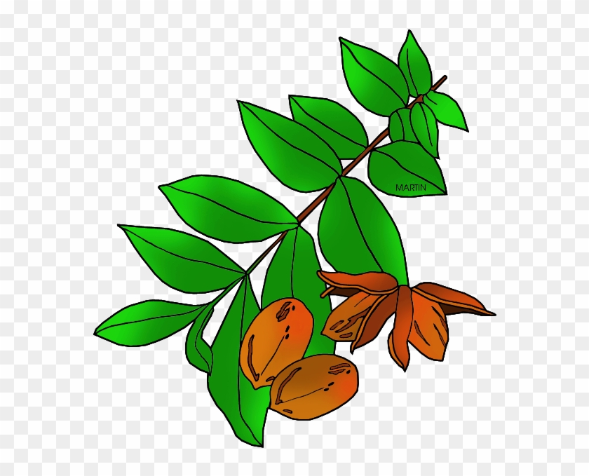 United States Clip Art By Phillip Martin Texas State - Texas State Tree Pecan #32952