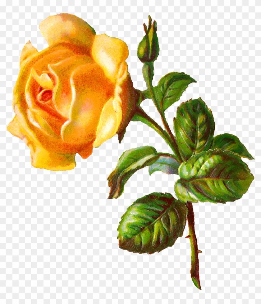 Digital Rose Clip Art - Floribunda #33128