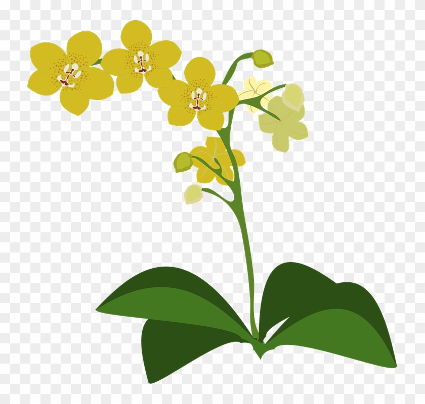 Clip Art Flor Flora Flower Nature Orchid Orchids - Spectacular Orchids: The Basics Of Growing Your Own #35056