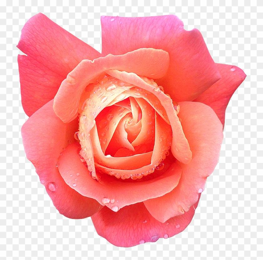 Fleur14 Rose Photogr Fleur Rose Detoure Free Transparent Png