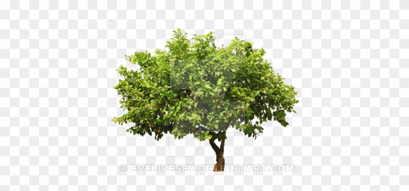 Shrub Png - Apple Tree Isolated #1330266