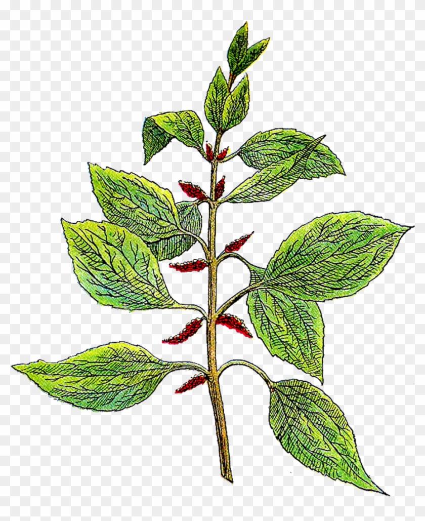 bt-1 Transparent Background PNG File Printable Botanical Botanical Illustration Vintage Botanical Clipart Vintage Greenery Clipart