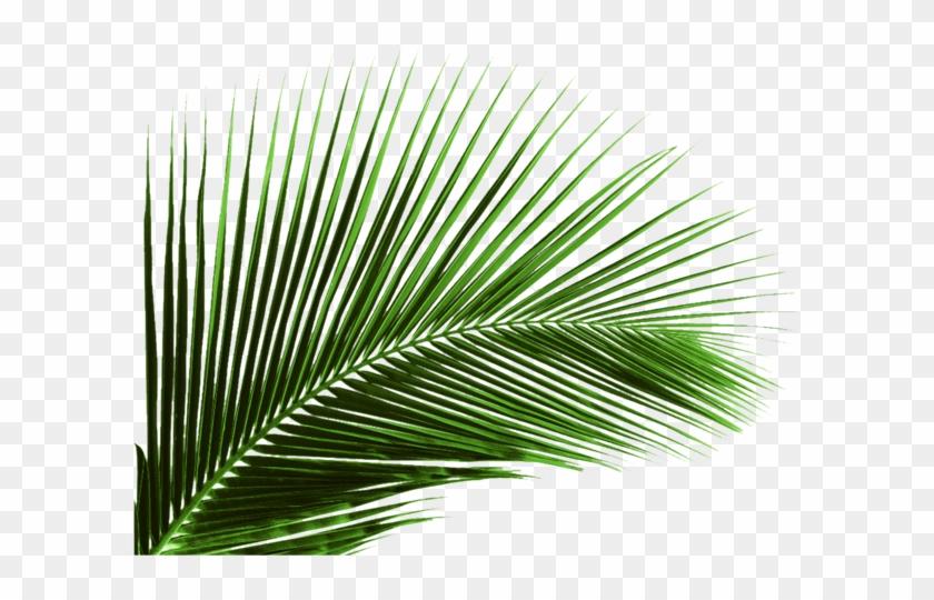 Arecaceae Leaf Plant Areca Palm Coconut - Palm Tree Leaf Png #1333297