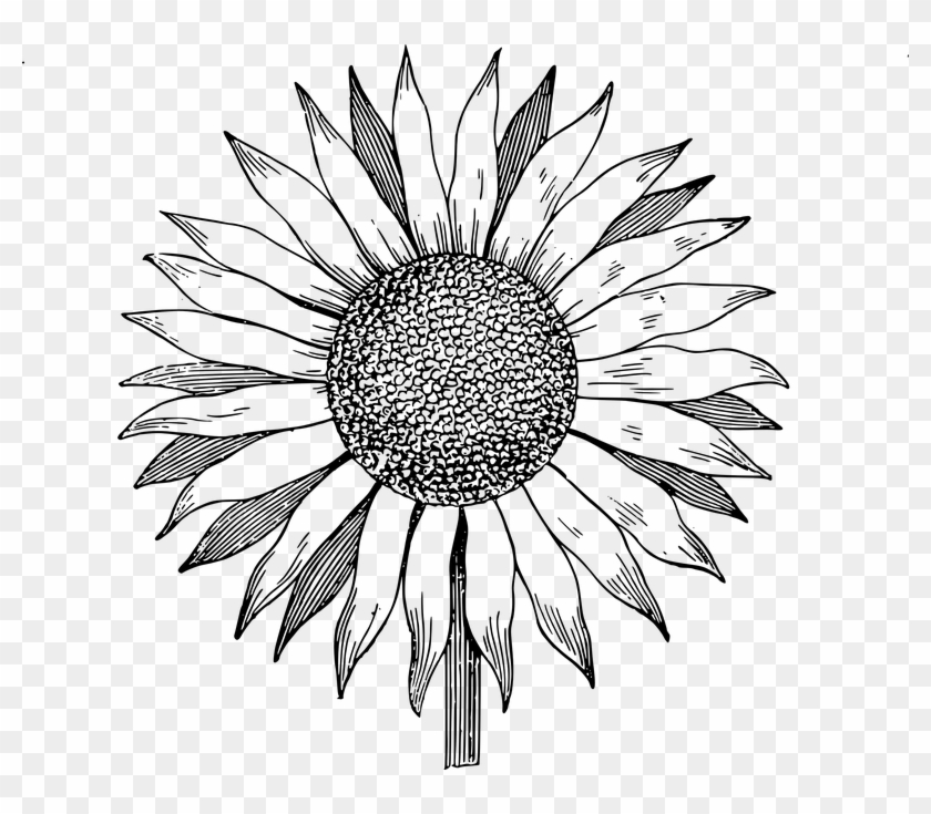 Download Clip Art Sunflower Vector Black And White Png Free