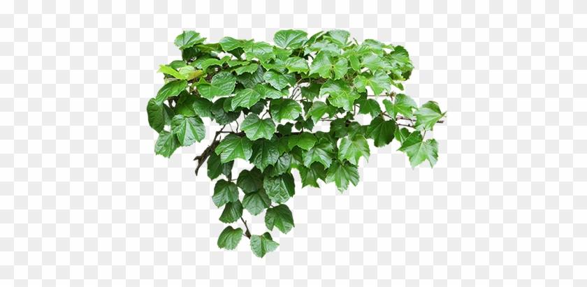 Pflanze Mein Garten Entourage Garten Clipart Mini Ivy Png