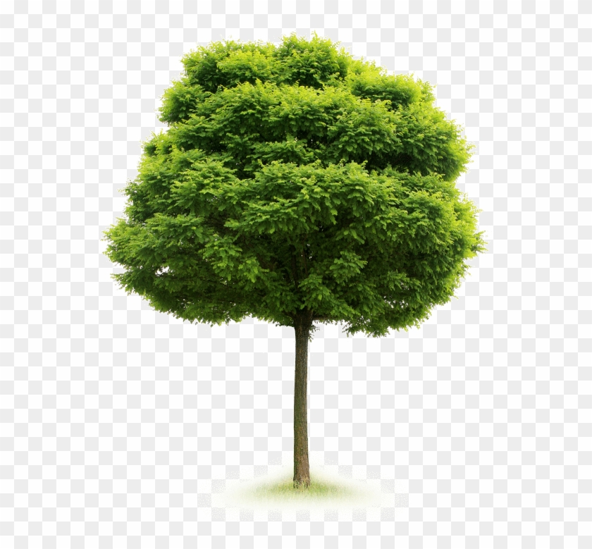 A Single Tree Produces Approximately 260lbs Of Oxygen - Tree Isolated #1335407
