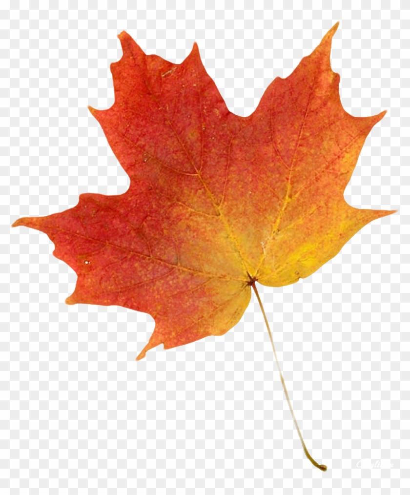 Autumn Leaf Color Clip Art - Autumn Leaves Maple #1335660