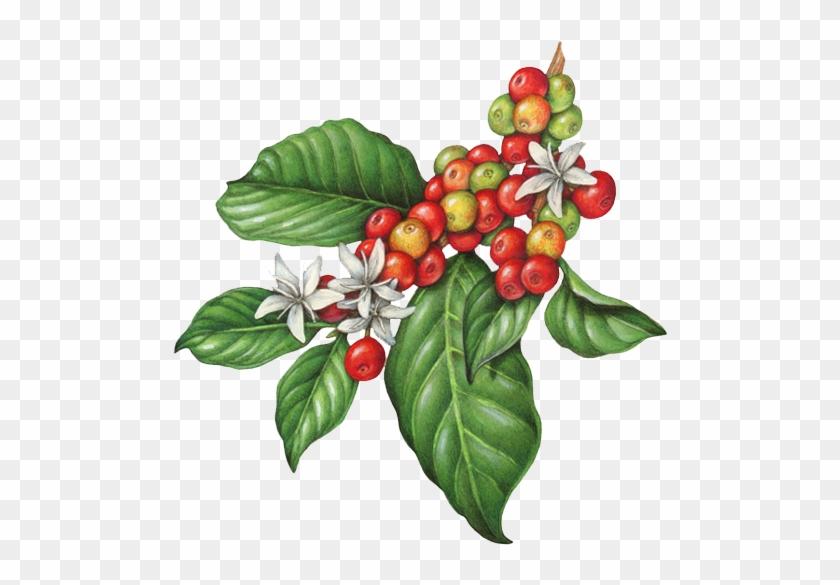 Coffee Bean Clip Art - Royalty Free - GoGraph