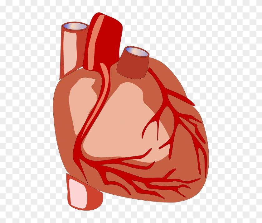 Heart,human - Human Heart Png Gif #1355197