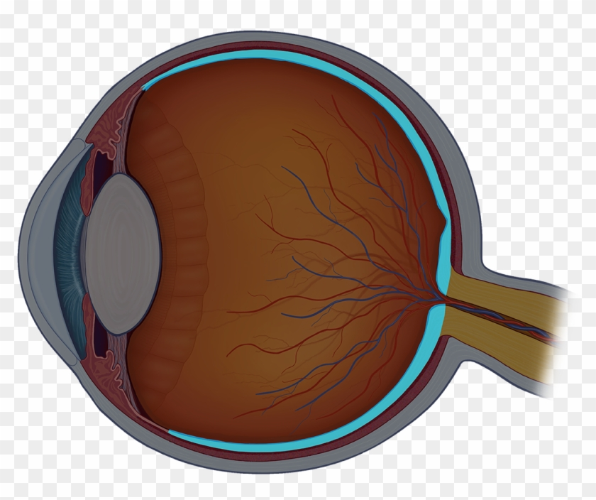 The Retina Is The Nerve Layer On The Back Of The Eye - Eye Ball Cross Section #1373824