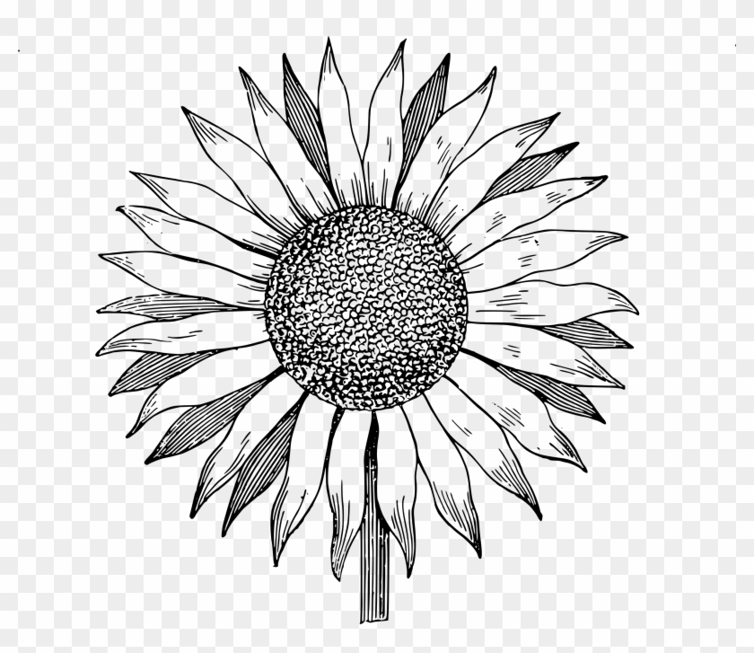 Drawing Clipart Sunflower - Sunflower Vector Png #217997