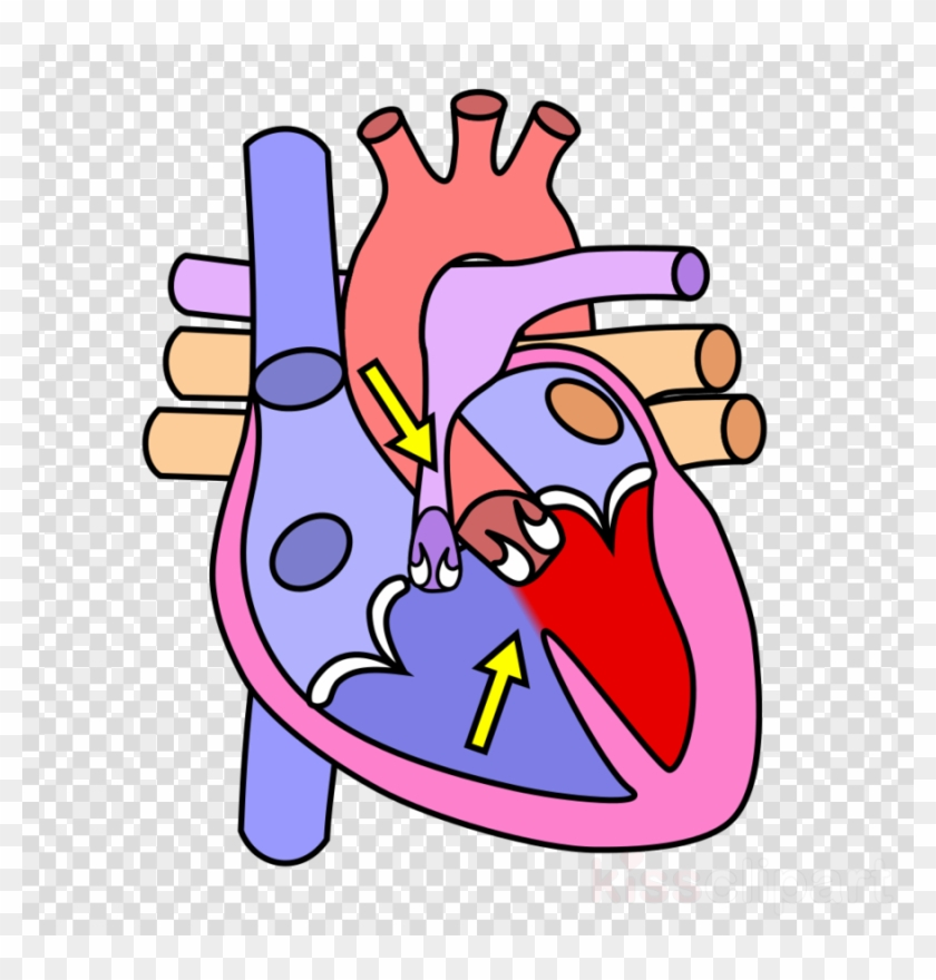 Clipart Resolution 956*1023 - Human Heart Without Labels #1410546