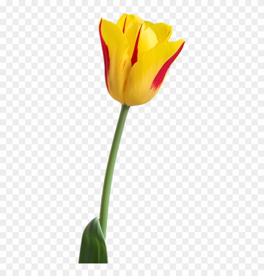 Tulip Png Images Free Download - Yellow Tulip Flower Png #224976
