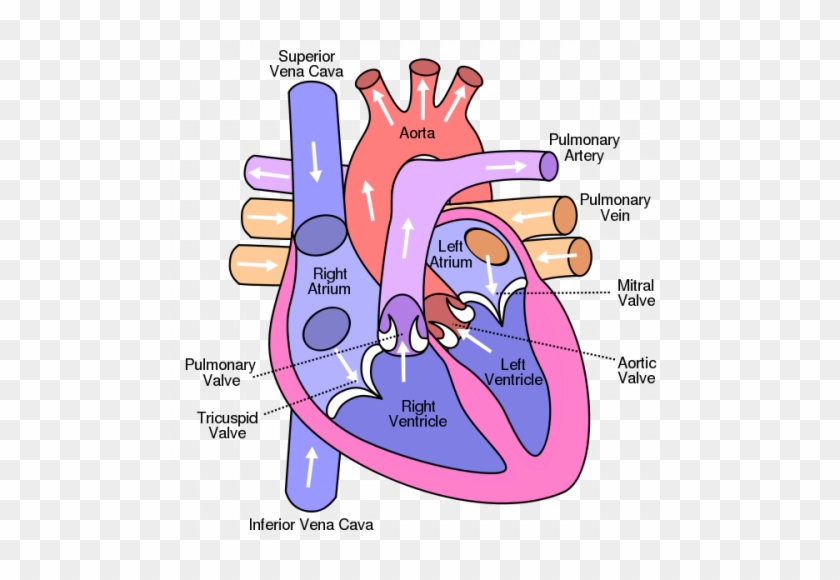 Heart Anatomy Blood Flow - Diagram Of The Heart #1466105