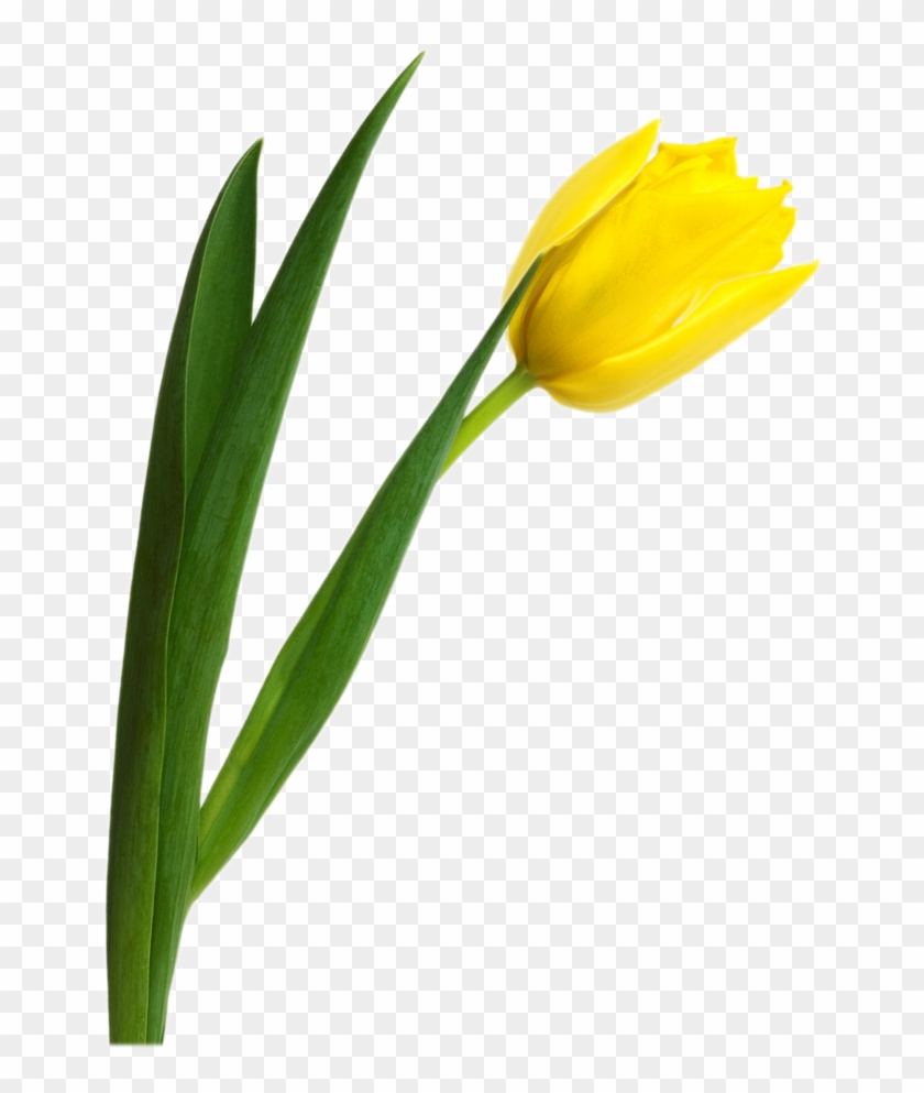 Yellow Tulip Png Image - Yellow Tulip Flower Png #237887