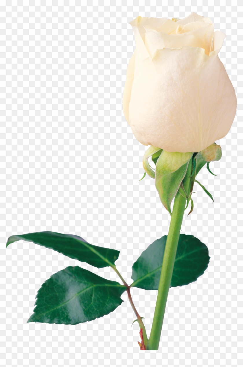 White Rose Png Image Flower White Rose Png Picture Beautiful