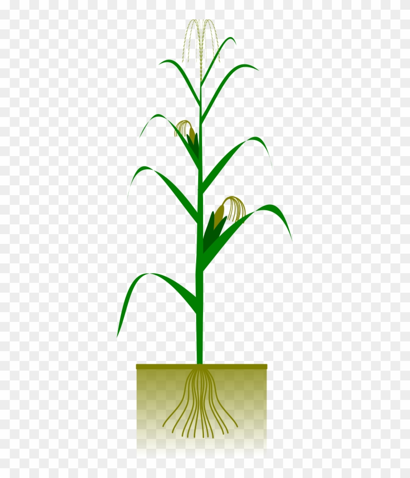 How To Set Use Maize Plant Svg Vector - Maize Plant #240727