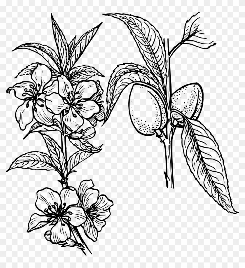 Almond Plant Clipart, Vector Clip Art Online, Royalty - Plants And Flowers Drawing #36158