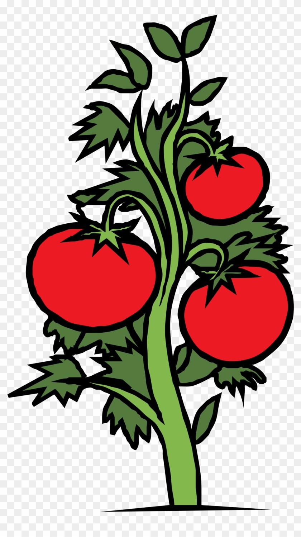 Roots Clipart Tomato Plant - Tomato Plant Clip Art #40278
