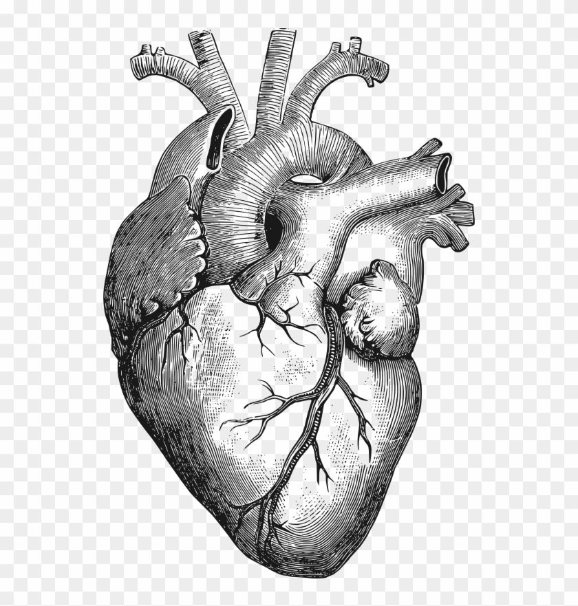 Clipart - Anatomical Heart - Anatomical Heart Drawing #40288
