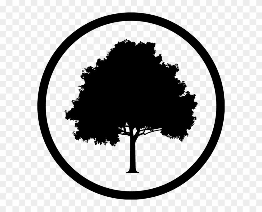 Hazel Oak Farms - North American American Oak Tree #40649