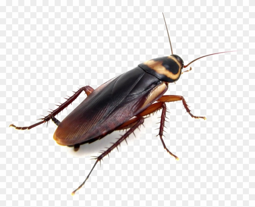 Png Images Transparent Free Transparent Background - Brown Banded Cockroach Roaches #1605305