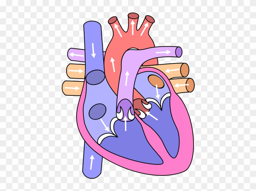 Blank Heart Clipart - Circulatory System Heart Diagram #252138