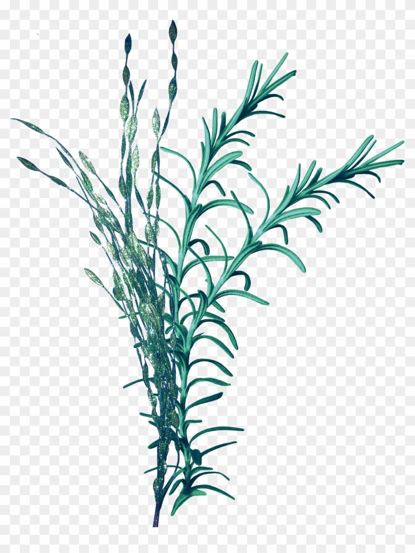 Seagrass Seaweed Clip Art - Водоросли Пнг #253220